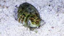 """AQM"" RARE!! INDO FIGHTING CONCH,crabs,snails, Live Coral, INVERTS, CLEANER CREW"