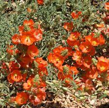 SPHAERALCEA COCCINEA, SCARLET GLOBEMALLOW 30 seeds
