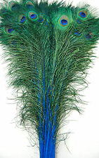 "50 Pcs DYED PEACOCK Feathers 30""-35"" TURQUOISE ; Halloween/Costume/Burlesque"