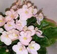 ~African Violet Live Baby Plant *Emerald Pink* Showy Semi-Miniature 🌿
