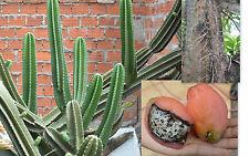 CEREUS STENOGONUS 100 semi seeds Cereus dai frutti di fragola Strawberry cactus