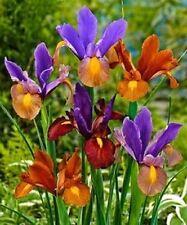 Dutch Iris bulbs,10 Bronze Blend, Rich, bronze colored Irises !