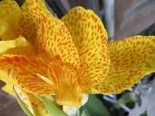 5 YELLOW CANNA LILY Indian Shot Canna Indica Flower Seeds + Gift & Comb S/H