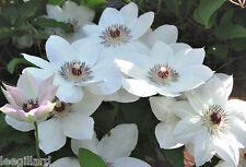 White Clematis Miss Bateman Plug Plant x 1 climbing shrub
