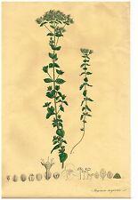 "Brandt & Ratzeburg Flowers - ""MAJORANA SMYRNACA"" - Large H-Col Litho - 1838"