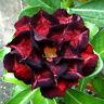 5 pcs Desert Rose Flower Adenium obesum Seeds #A076