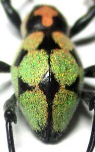A014 Mi : DV : Pachyrrhynchus reicherti male 15mm W/GLITTERS!!!****