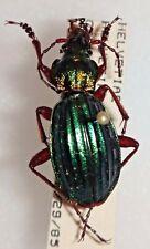 Carabidae Carabus Chrysocarabus auronitens helvetiae Helvetia #W97 Beetle