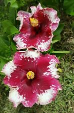 Hibiscus Perennial Flowers Plants For Sale Ebay