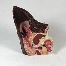 Canine Ear Anatomical Model Veterinary Anatomy Dog vet display teaching demonsta