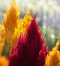 😊1000 graines de célosie plumeuse/ crete de coq/ celosia plumosa 4 couleurs