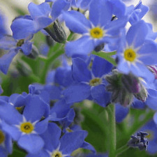 2000 Forget Me Not Wildflower Seeds - Everwilde Farms Mylar Seed Packet