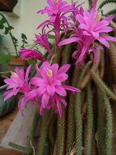 3 coupe fraiche 15 cm Aporocactus Aporophyllum Fairy Dancer