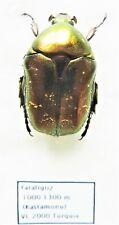 Cetoniidae ssp  (1 ex A1) from TURKEY (Cetoniidae)