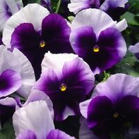 Pansy- Beaconsfield - 50 Seeds- BOGO 50% off SALE