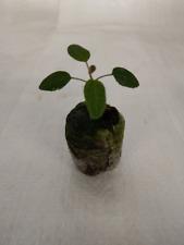 Eucalyptus Lemon Scented, Eucalyptus Corymbia citriodora Plug Plants