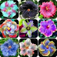 100Pcs Hibiscus Perennial Flower Seeds Dinnerplate Blue Rose Garden Plant Rare