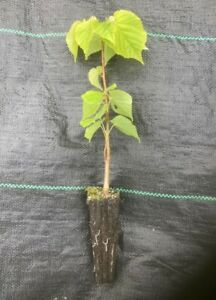 10 x Small Leaved Lime (Tilia cordata) 20-30cm - Cell Grown