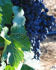 """Cabernet Grapes"" Napa Cal Art Photograph Signed 8 x 10"