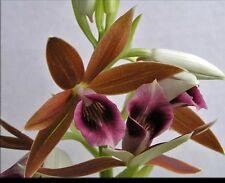 Nun's Orchid 'Big Charlie', Phaius tankervilleae, Live Plant