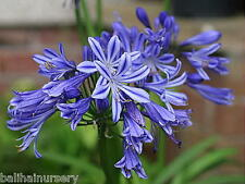 3 Agapanthus Charlotte (PBR) bright dark blue flowers excellent garden plants