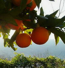 Dwarf Lemon & Lime & OrangeTree Fresh Seeds (6) 2 Seeds Each Lemon Lime Orange