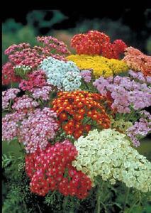 100 Achillea Seeds Yarrow Summer Pastels (PERENNIAL)