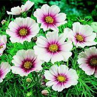 Cosmos- Daydream- 100 Seeds- BOGO 50% off SALE