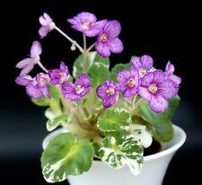 LE-Maya 2 Blätter/ 2 leaves African Violet Usambaraveilchen
