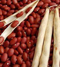 Bohnen Buschbohnen Trockenkochbohne Red Kidney Samen