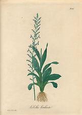 Hocquart color stipple engraving herb heath lobelia Roques Medical Botany 1821