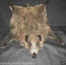 Wild european boar complete taxidermy collectible hunting (tusks solid resin)
