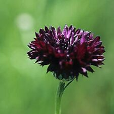 Cornflower Black Ball, Centaurea cyanus, 1g Approx 100 seeds