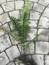Macho Fern Plants Roots Florida Houseplant /outdoor
