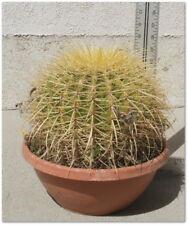 Golden Barrel Cactus - Echinocactus Grusonii - Large Size - Local Pick Up Only