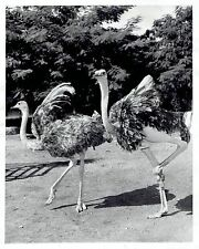 1956 Original Photo North African ostriches strut their stuff at Rome Italy Zoo