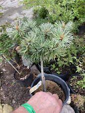 Pinus paviflora Hani - Smaller -better variegated than Tamina no yuki -
