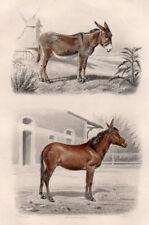 Gravure coloriée 1880. L' Ane, le Mulet