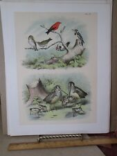Vintage Print,WOODCOCK,Pl 9,Birds North America,Studer,1888