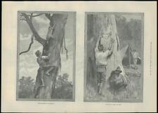 1889 Antique Print KOALA BEAR HUNTING AUSTRALIA Skins Aborigine  (159)