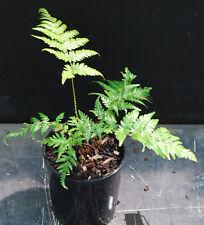 Cyathea dealbata - NZ Silver Tree Fern - Awesome!!