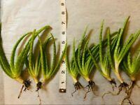 "8 Medicinal Aloe Pups-6""-8"" Vera Barbadensis -   Rooted and Ready to Plant!"