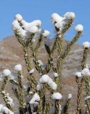 Cylindropuntia acanthocarpa - Buckthorn Cholla - 20 Fresh Seeds