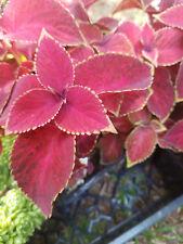 COLEUS - WIZARD VELVET RED - 3 live PLANTS - flowers - GroCo USA