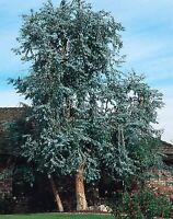 Red Box or Silver Dollar Gum Seed Medium Tree Cold Tolerant Florist Foliage