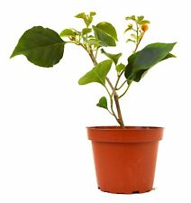 "California Gold Bougainvillea 3""Pot Live Plant Tree Garden Outdoor Bset Gift New"