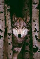 Wölfe - Gray Wolf - Plakat Poster Druck - Größe 61x91,5 cm