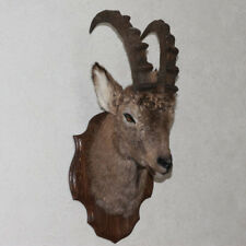 SIBERIAN IBEX TAXIDERMY HEAD SHOULDER MOUNT - WILD GOAT MOUNTED, STUFFED ANIMALS