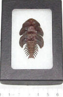 Platerodrilus dulticola REAL FRAMED TRILOBITE BEETLE INDONESIA