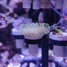 Toadstool Mushroom Leather Coral Frag Tan/Green